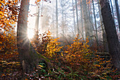 Sunrays shining through misty scenery on an autumn morning in the Bavarian Forest National Park, Bavaria, Germany