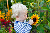 Boy (2 years) looking at a sunflower in a garden, Freital, Saxony, Germany