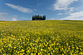 Typical Tuscan landscape with cypress grove and yellow rape field, canola field near San Quirico d´Orcia, Val d'Orcia, Orcia valley, UNESCO World Heritage Site, province of Siena, Tuscany, Italy, Europe