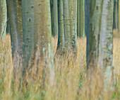 Beach forest, Jasmund National Park, Ruegen, Mecklenburg-Western Pomerania, Germany