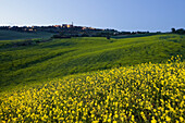 Rape field with houses in the background in the evening, Pienza, Tuscany, Italy