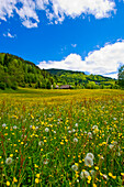 Field of flowers in spring, Krakautal, Styria, Austria
