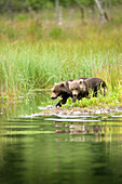 USA, Alaska, brown grizzly bears cubs exploring, Redoubt Bay