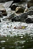 USA, Alaska, Close-up of salmon spawning, Wolverine Cove, Redoubt Bay