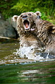 USA, Alaska, two brown grizzly bears wrestling, Wolverine Cove, Redoubt Bay