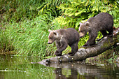 USA, Alaska, brown bear cubs walking down into the water, Redoubt Bay