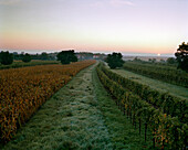AUSTRIA, Oggau, corn and grape vines early in the morning, South of town, Burgenland