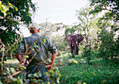 BOTSWANA, Africa, Chobe National Park and Game Reserve, Bull Elephant and Safari Guide