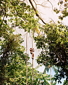 BRAZIL, Belem, South America, man climbing Acai Palm for berries, Boa Vista