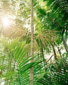 BRAZIL, Belem, South America, Acai Palms in rainforest, Boa Vista