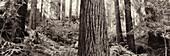 USA, California redwood trees, Avenue of the Giants, Eureka (B&W)