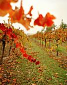 USA, California, vineyard in Fall, Calistoga