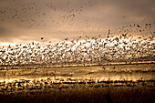 USA, California, Marysville, Snow geese taking off out of the wetlands, Sicard Flats