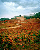 USA, California, Gold country landscape at the Sabon Estate Winery, Fall colors at the tail end of the Autumn harvest, Plymouth