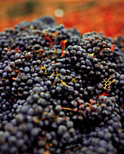 USA, California, Freshly picked grapes are ready to be crushed at the Sabon Estate Winery, Gold Country