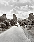 CHINA, Guilin, water buffaloes crossing road in rural Guilin (B&W)
