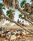 ERITREA, Beilul, Afar kids tend to their livestock in Dad Village