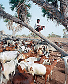 ERITREA, Beilul, a young Afar man tends to his livestock in Dad Village