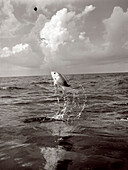 USA, Florida, caught fish leaping out of ocean, Islamorada (B&W)