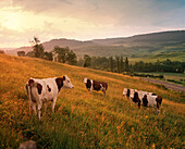 FRANCE, Arbois, cows in the countryside at sunrise, Jura Wine Region