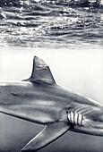 USA, Hawaii, Haliewa, closeup of Galapagos Shark, Oahu