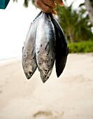 INDONESIA, Mentawai Islands, Kandui Surf Resort, person holding freshly caught fish