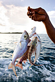 INDONESIA, Mentawai Islands, Kandui Resort, person holding freshly caught fish