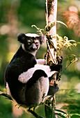 MADAGASCAR, Indri Indri Lemur sitting in a tree, Analamazaotra National Park