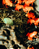MADAGASCAR, group of Golden Mantella Frogs, Mandraka Reptile Park, Tana