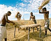MADAGASCAR, farmers harvesting grain, Isalo National Park