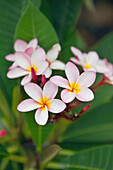 MAURITIUS, Flic en Flac, Wolmar, plumeria in the garden at the Maradiva Villas Resort and Spa
