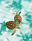 MEXICO, Maya Riviera, Green Sea turtles swimming in the water
