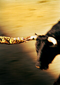 MEXICO, Tijuana, matador running from bull with had on horn, action blur