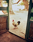 PANAMA, Bocas del Toro, a rooster runs by the kitchen door of a house by the sea, Central America
