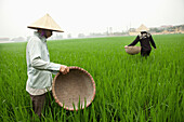 VIETNAM, Hanoi countryside, rice farmers Nguyen Huu Uc and Nguyen Thi Ha work in their family rice field, Nguyen Huu Y village