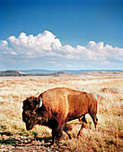USA, Wyoming, bison walking on grass in Western landscape, Yellowstone National Park