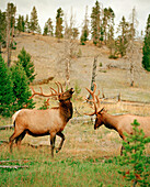 USA, Wyoming, elks sparring in the Firehole River Corridor, Yellowstone National Park