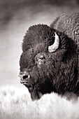 USA, Wyoming, closeup of a bison, Hayden Valley, Yellowstone National Park (B&W)