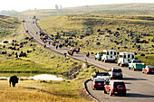 USA, Wyoming, large group of bison blocking traffic in Hayden Valley, Yellowstone National Park
