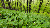 Beech forest in Hainich National Park in Spring with a carpet of wild garlic in the foreground, Thuringia, Germany