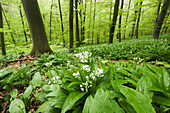 Beech forest in Hainich National Park in spring with a carpet of blooming wild garlic in the foreground, Thuringia, Germany