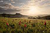Sunrise over the Tuscan hills of the Val d'Orcia in spring with blooming tulips in the foreground, San Quirico d'Orcia, Tuscany, Italy