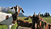 Young goats on a meadow near the Karwendel mountain range near Mittenwald, Bavaria, Germany