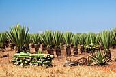 Sisal plantation, Agava sisalana, harvest, South Madagascar, Africa