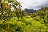 Lemon trees in a grove, Soller, Majorca, Spain