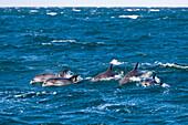 Common Dolphin, Delphinus capensis, Wild Coast, Eastern Cap, South Africa