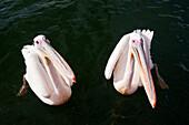 Great White Pelican, Pelecanus onocrotalus, Walvis Bay, Namibia