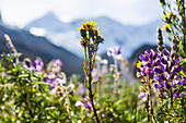 Blooming meadow in Ishinca Valley, Pashpa, Huaraz, Ancash, Cordillera Blanca, Peru