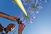 Man taking a picture of a flowering agapanthus, Jardin botanique de Vauville, Vauville, Cotentin, Normandy, France