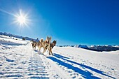 Pirena Advance is a 15 days long sleddog race across the Pyrenees  Spain-France-Andorra Scoring for the world sleddog championship, it is one of the reference races in Europe  It has been held between January and February for 22 years Pirena  Sled  Dog  R